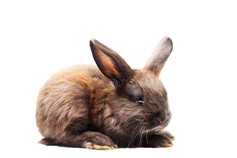 Black rabbit isolated on white background royalty free stock photo