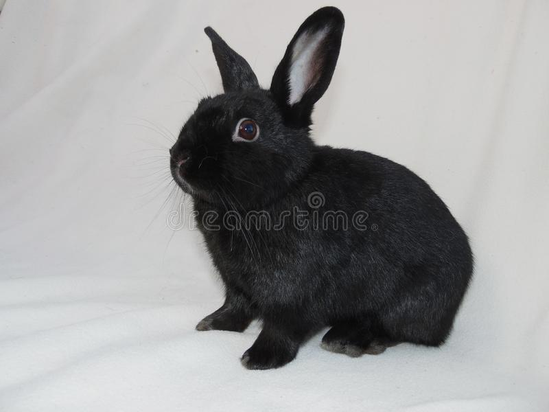 Black rabbit is stand on white background.Little grey bunny rabbit.Rabbit`s eyes are like suffering. High quality stock photo