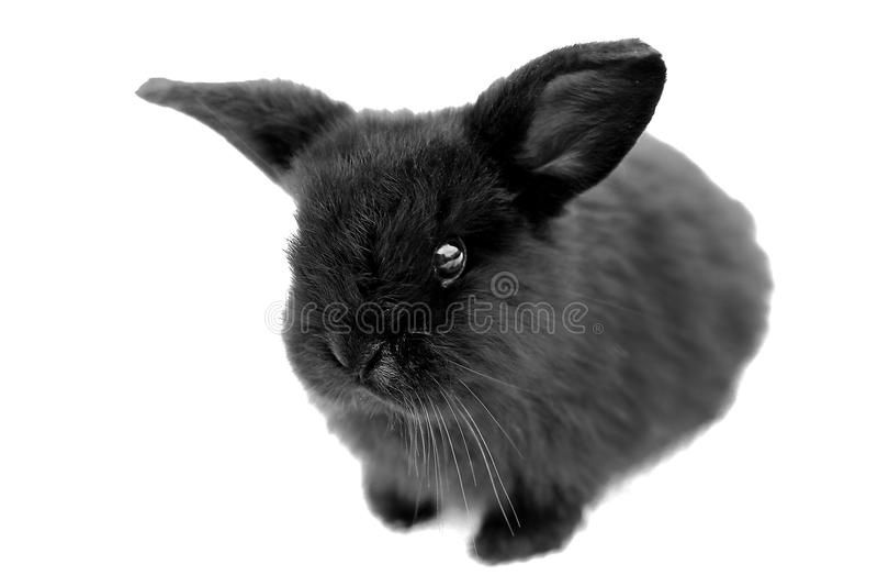 Black rabbit on white background stock image