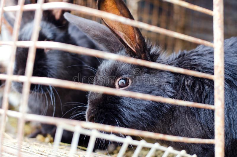 Black rabbits on the farm. Concept of animal husbandry, household, organic meat, village life stock image
