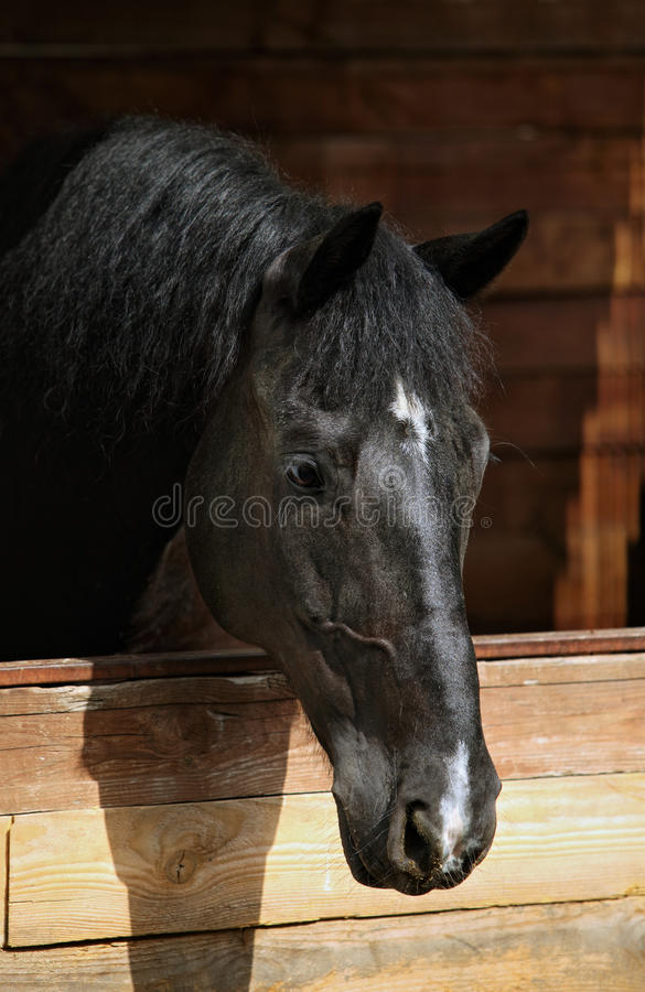 Black race horse in his stalls stock images