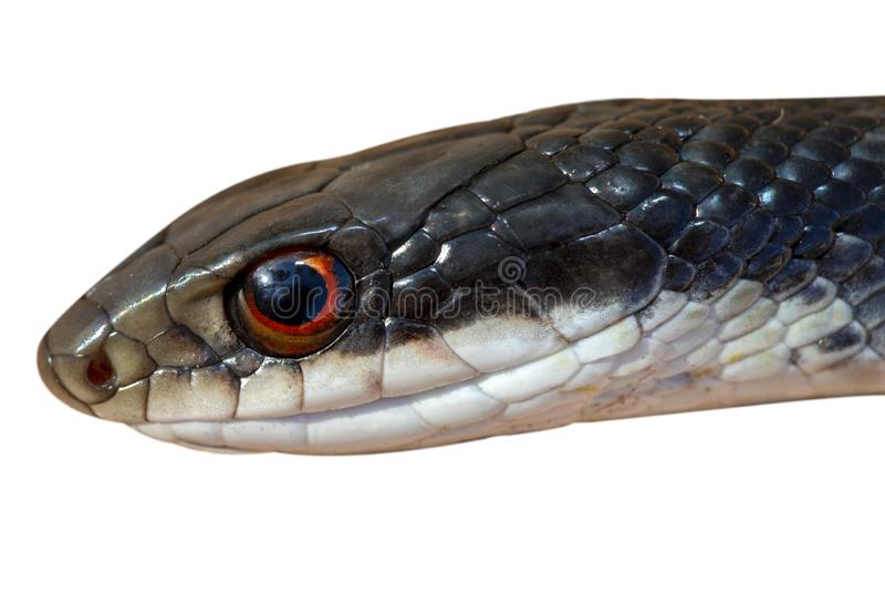 Black Racer Snake Isolated. A Black Racer snake isolated on white stock photos