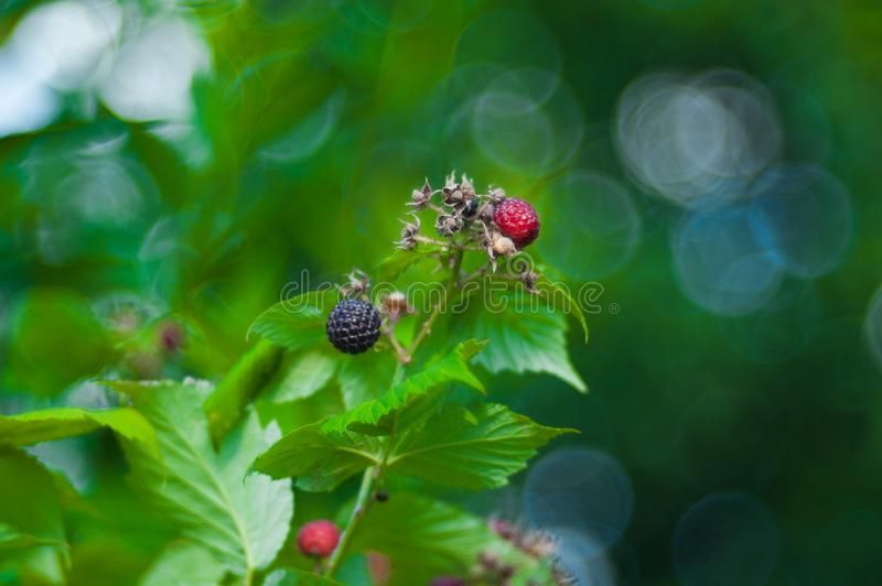 Black raspberry Rubus occidentalis of berries ripening closeup stock photo