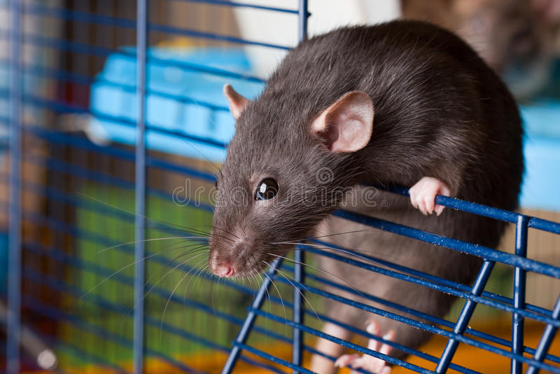 Black rat of breed Dumbo stock photos