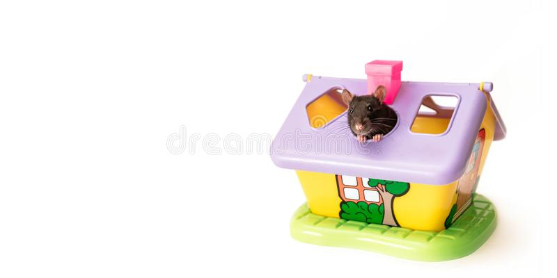 Black rat peeps out of the roof of a toy house on a white background, good mood. Cute black rat peeps out of the roof of a toy house on a white background, good royalty free stock image