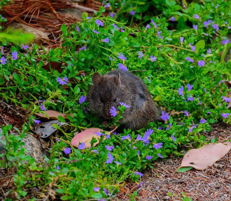 Black rat and purple and pink flowers. Black rat or Rattus rattus and purple and pink flowers. Also known as the ship rat, roof rat or house rat, is a common stock photos