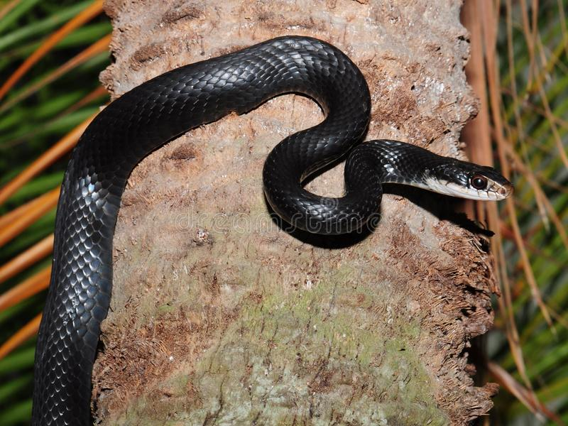 Black rat snake - Elaphe obsoleta. Black Rat snakes - Elaphe obsoleta are quick members of the colubrid family. it is not unusual to see them climbing rough royalty free stock photos