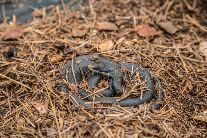 Black rat snake outdoors. A black rat snake lying coiled up alert and awake in the pine mulch on the ground on a warm sunny day in early springtime stock photography