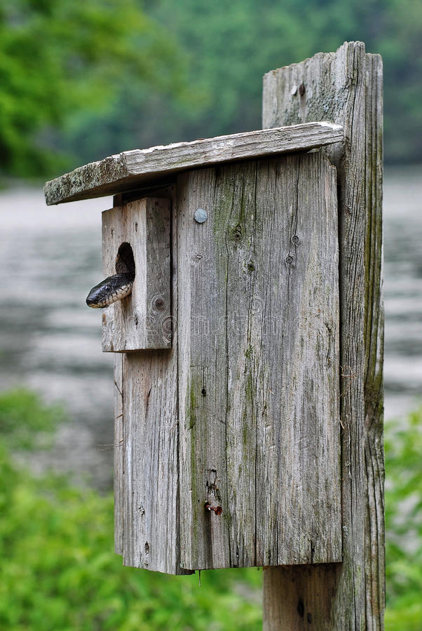 Rat Snake. A black rat snake searching for a meal inside a bird box in a state park in Connecticut stock photography
