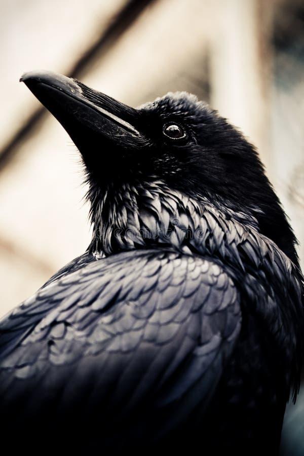 Black raven stock photo