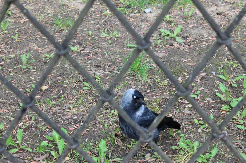 Black Raven behind the iron fence in the Park stock images