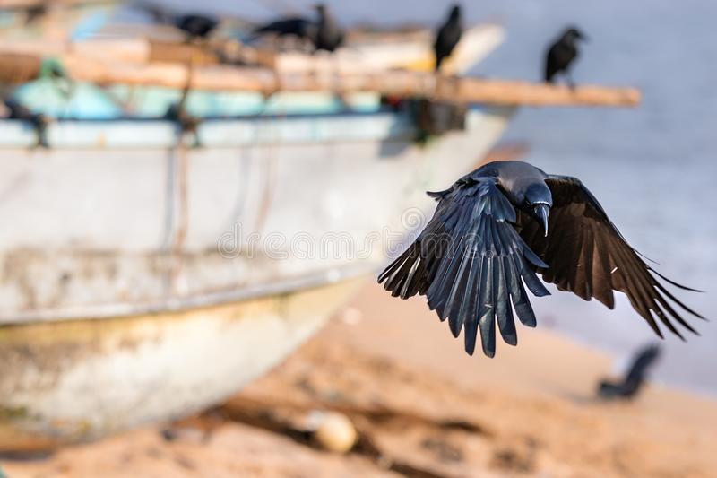 A black raven bird landing in the beach in Galle, Sri Lanka.  royalty free stock images