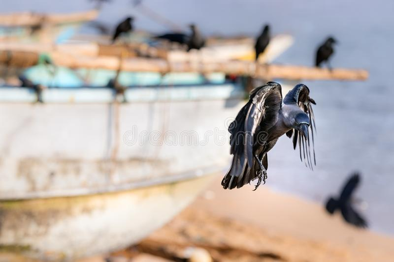 A black raven bird landing in the beach in Galle, Sri Lanka.  stock photography
