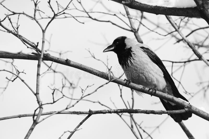 Black raven bird sitting on a snow-covered branch. Soft focus. Shallow depth of field.  stock images
