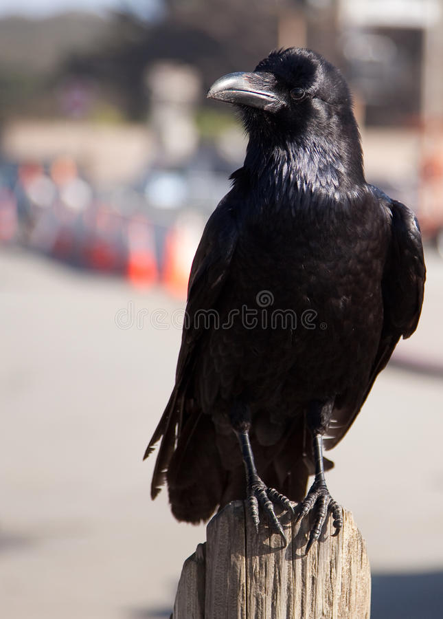 Download Black Raven Or Crow Royalty Free Stock Photography - Image: 13895417