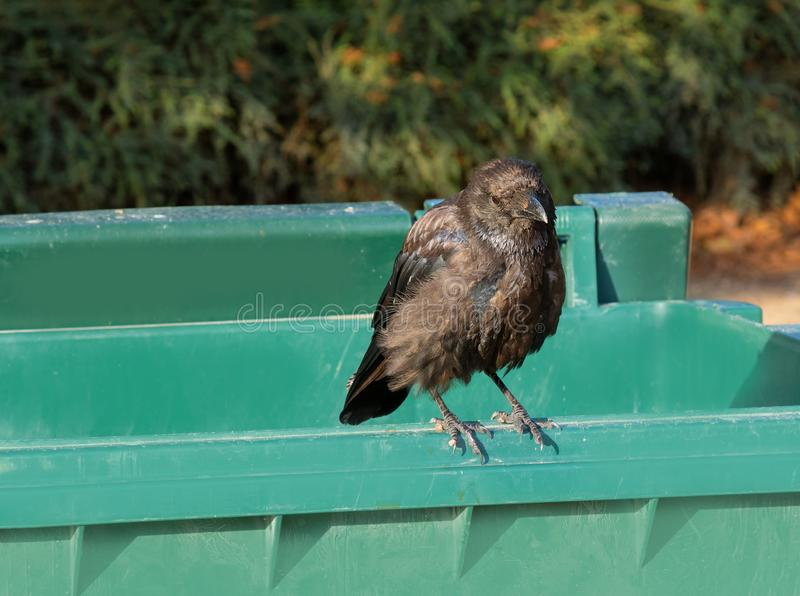 Black raven, crow sitting alone on a trash can on a sunny day. Black raven, crow sitting alone on a green trash can on a sunny day royalty free stock photography