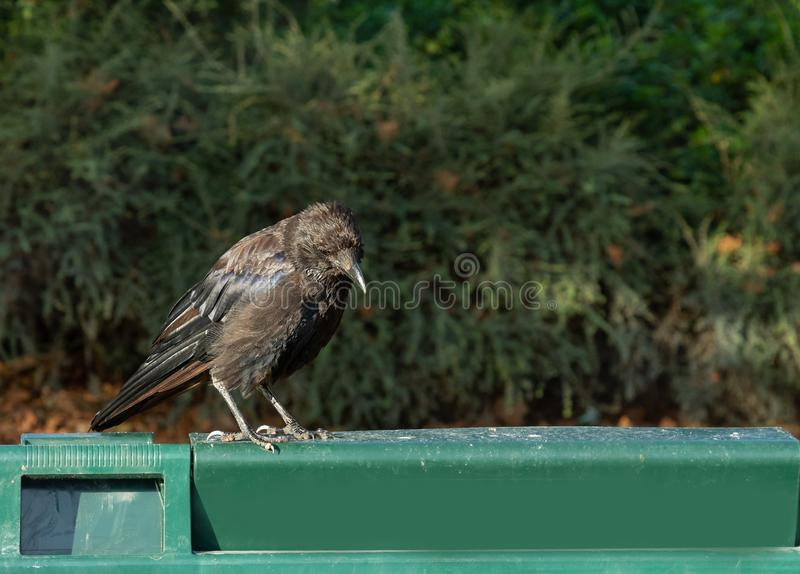 Black raven looks in the trash can, crow on the edge of the trash can stock photography