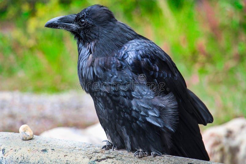 Black raven royalty free stock photos