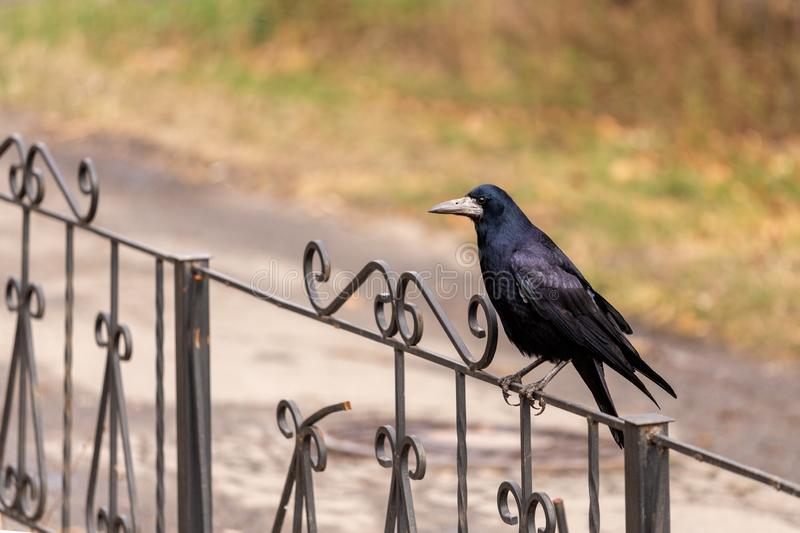 The black raven sits on on a metal forged fence and looks into the camera royalty free stock photos