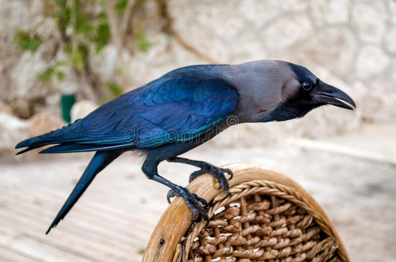 Black raven sitting on a wooden chair. Close up stock photos