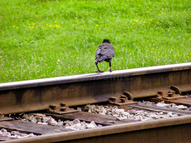 Black Raven stands on the rails of the railway, against the summer green grass. Close-up. Selective focus. Copy space royalty free stock photo