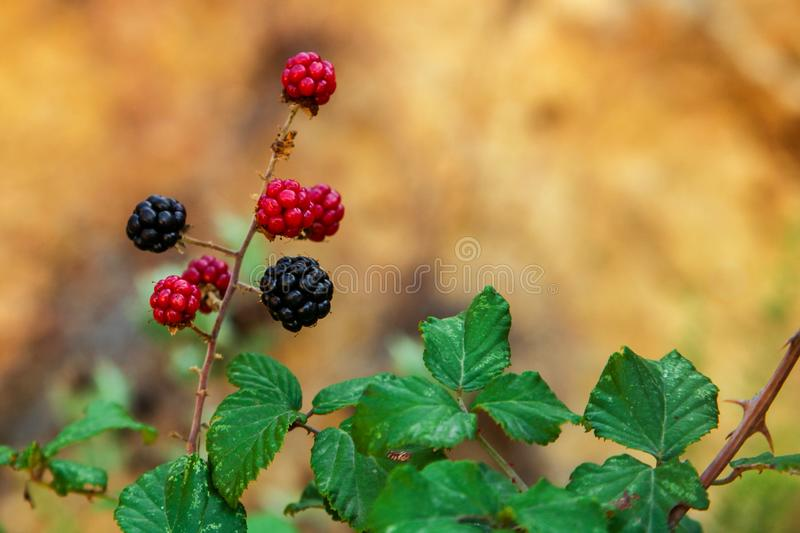 Black and red blackberries stock images