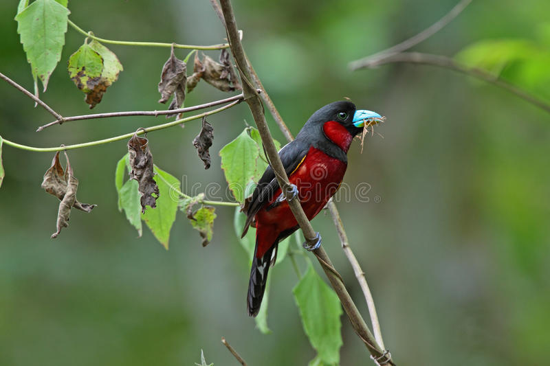 Download Black-and-red Broadbill stock photo. Image of nectar - 20872108