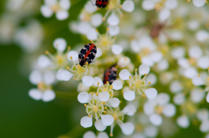 Black and red bug stock photography