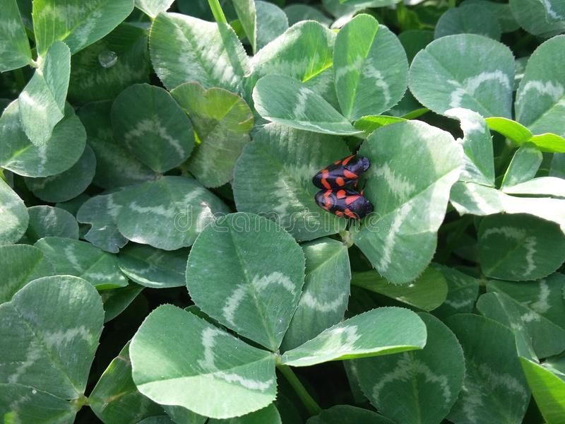 Black and red bug couples on green grass in sunny day stock photos