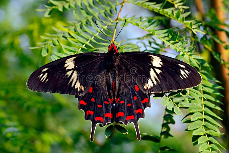 Butterfly Crimson rose or Pachliopta hector on green leaves. Black and red butterfly Crimson rose or Pachliopta hector, Papilionidae family, on green acacia stock photo