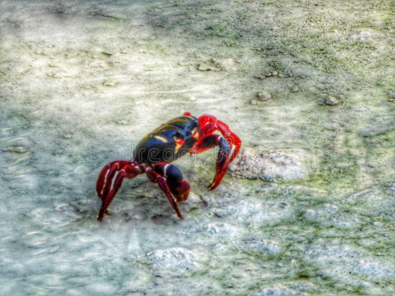 Black and red crab on Cuba's stony southern coast. At Caribbean Sea royalty free stock photo