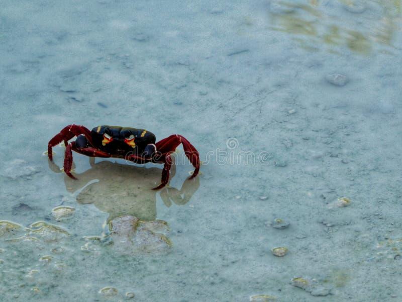 Black and Red crab in cubas Stony south coast. At caribbean sea royalty free stock photos