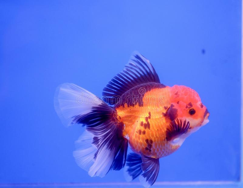 Gold fish in fish tank royalty free stock image