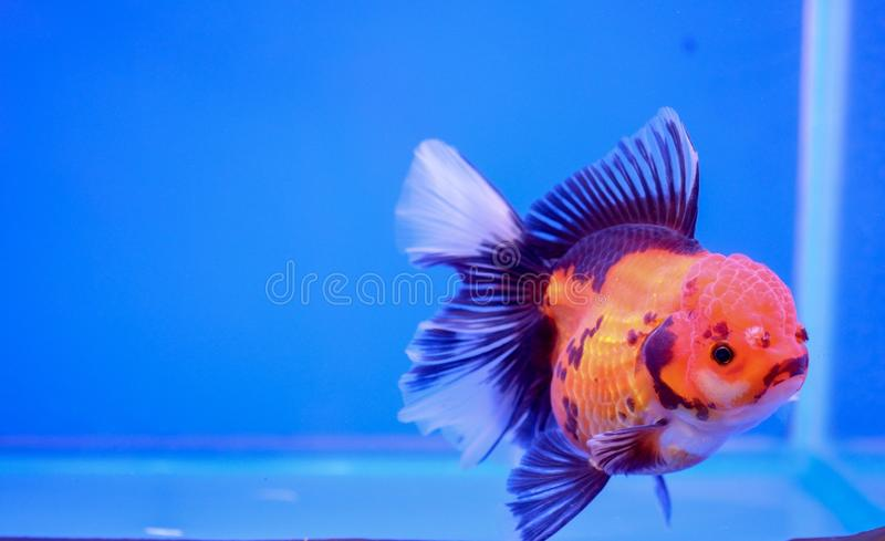 Gold fish in fish tank royalty free stock images