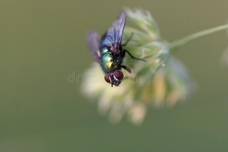 Black Red and Green Fly on White Flower Shallow Focus Photography stock images