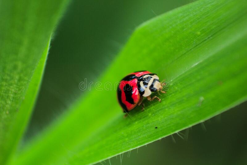 Black and Red Ladybug on Green Leaf royalty free stock image