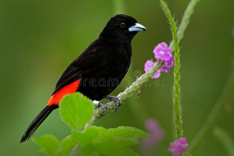 Black and red song bird. Pink bloom. Scarlet-rumped Tanager, Ramphocelus passerinii, exotic tropic red and black song bird form Co. Sta Rica royalty free stock image
