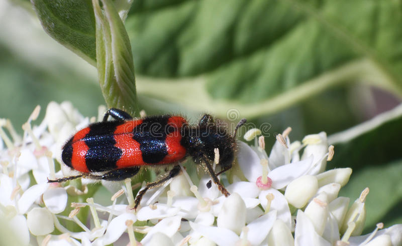 Black and red striped beetle on the white flower macro photo royalty free stock photo