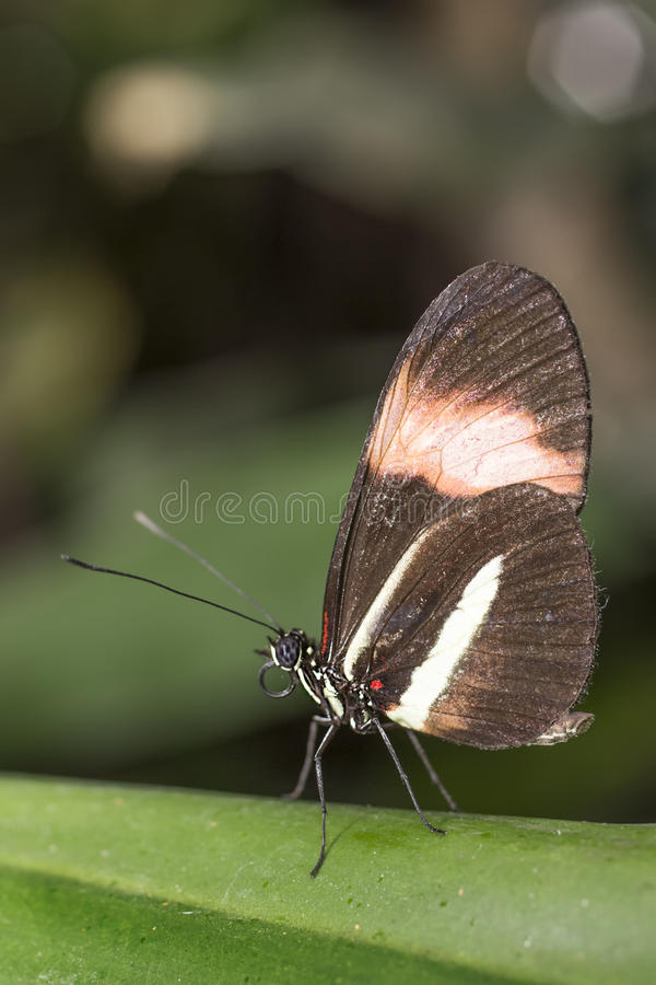 Black and red wing butterfly stock image