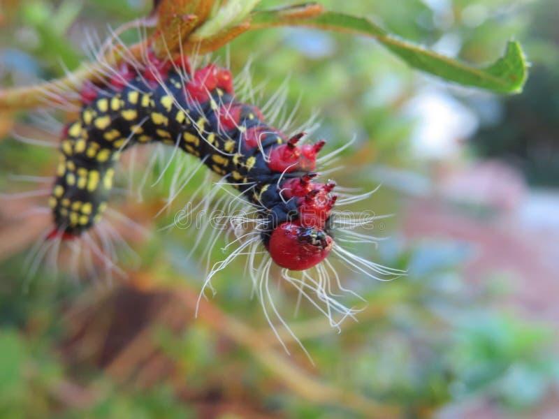 Close-up azalea caterpillar. Black, red and yellow Azalea caterpillar royalty free stock photo