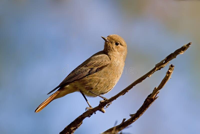 Download Black Redstart stock photo. Image of tail, plumage, park - 17596260
