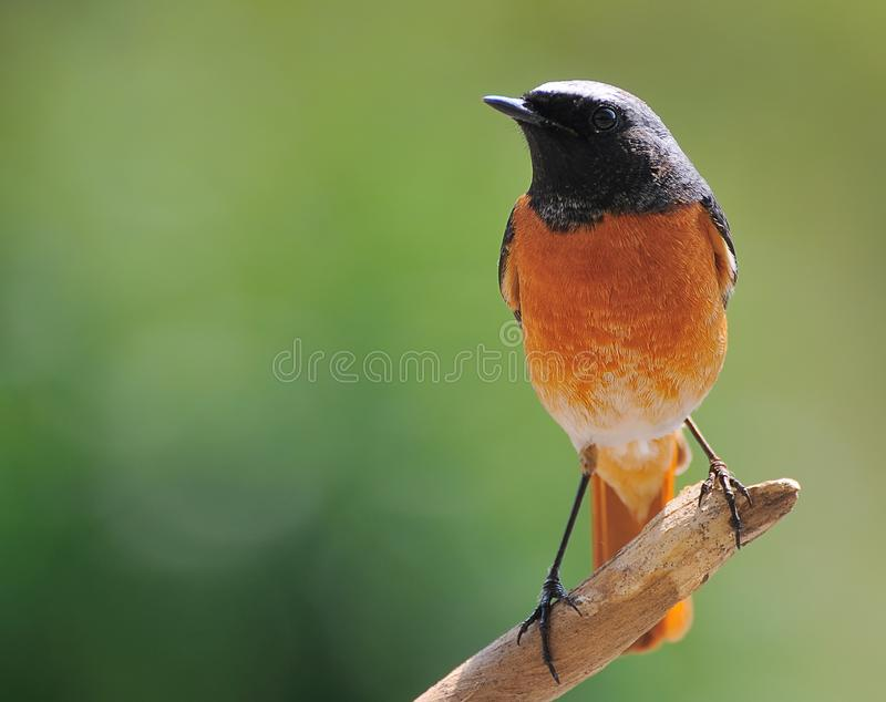 Download Black Redstart. stock image. Image of males, ecosystem - 19362017