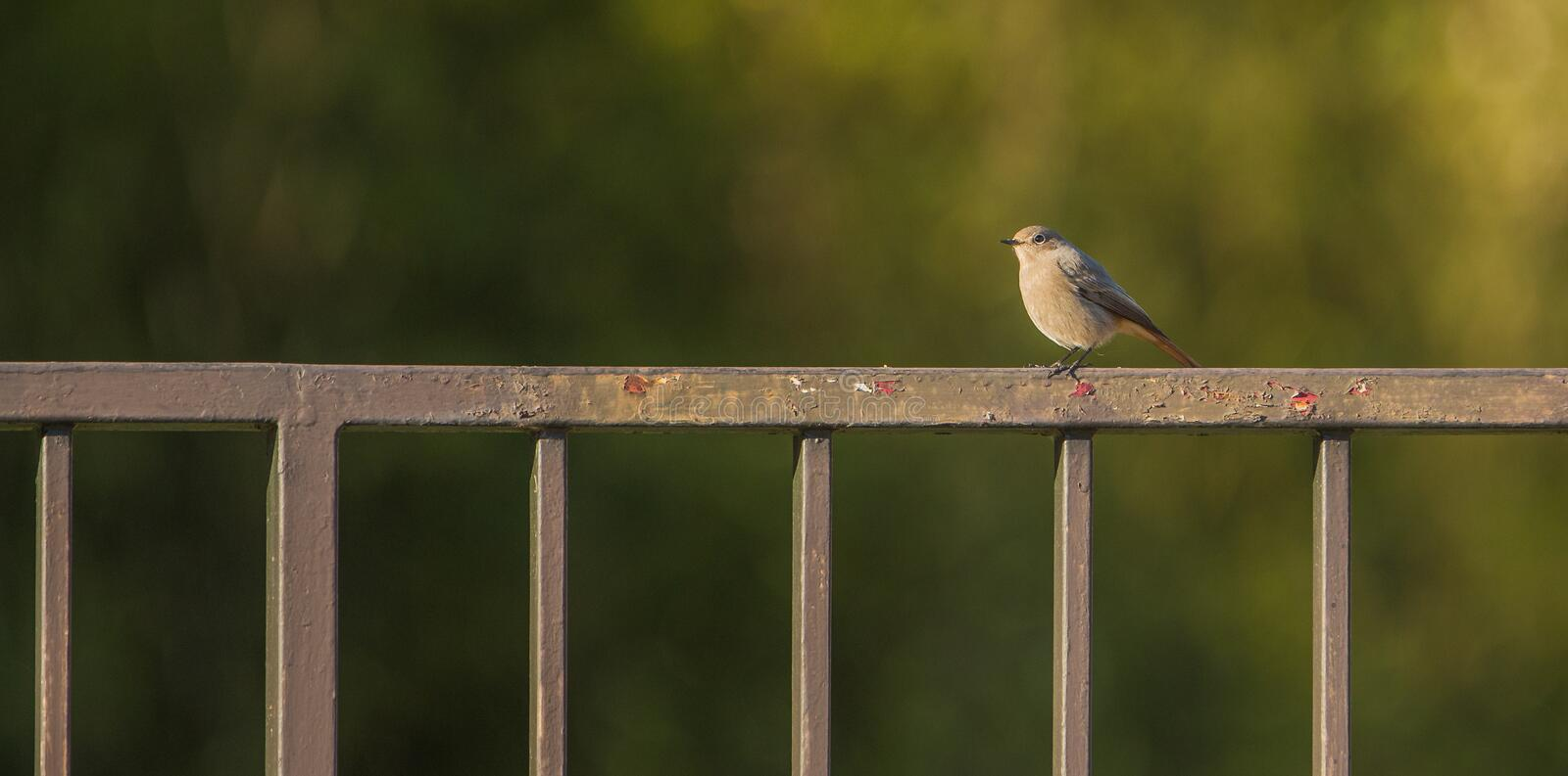 Black Redstart on iron fence royalty free stock photo