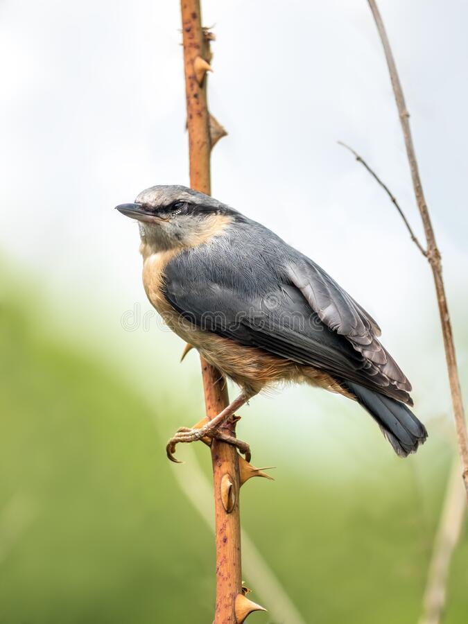 Shot of Nuthatch perching royalty free stock photo