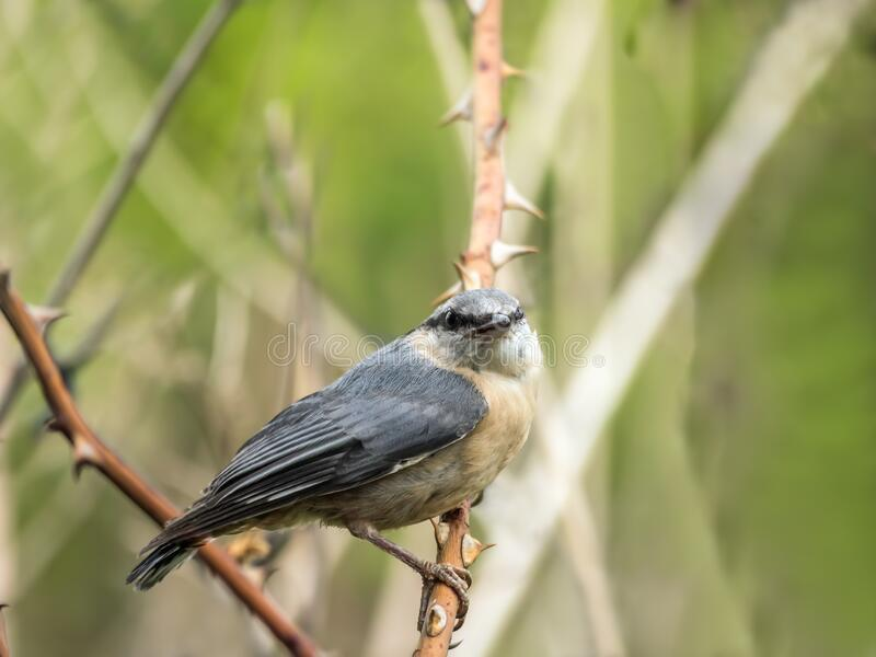 Shot of nuthatch perching stock photo