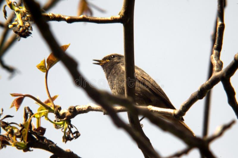 Black redstart Phoenicurus ochruros. The black redstart Phoenicurus ochruros is a small passerine bird in the redstart genus Phoenicurus. Like its relatives, it royalty free stock photos