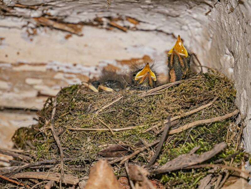 The black redstart or Phoenicurus ochruros nest with two small chicks. royalty free stock images