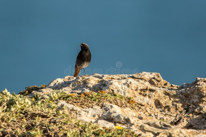 Black Redstart Phoenicurus Ochruros Rabiruivo royalty free stock images