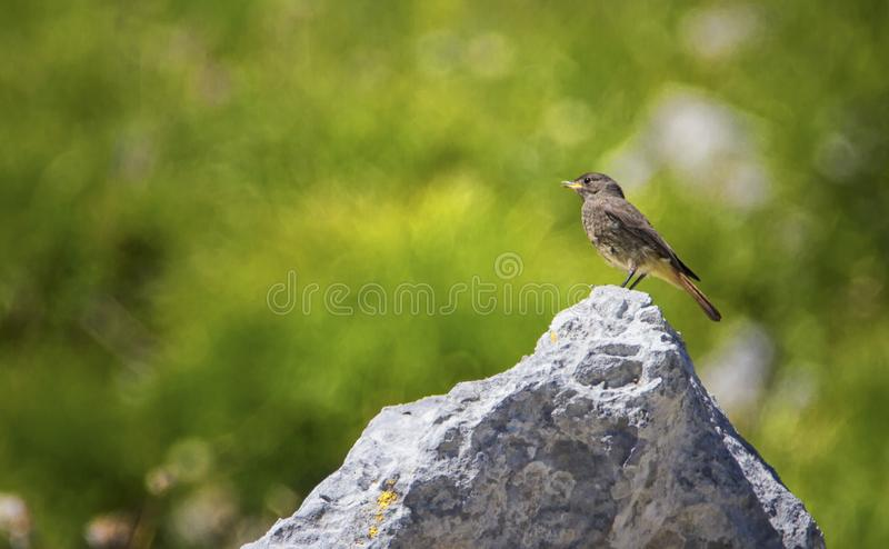 Black Redstart, Phoenicurus ochruros, on a Stone, Alps, France. Black redstart, Phoenicurus ochruros, standing on a stone by beautiful day, Alps, France royalty free stock photography