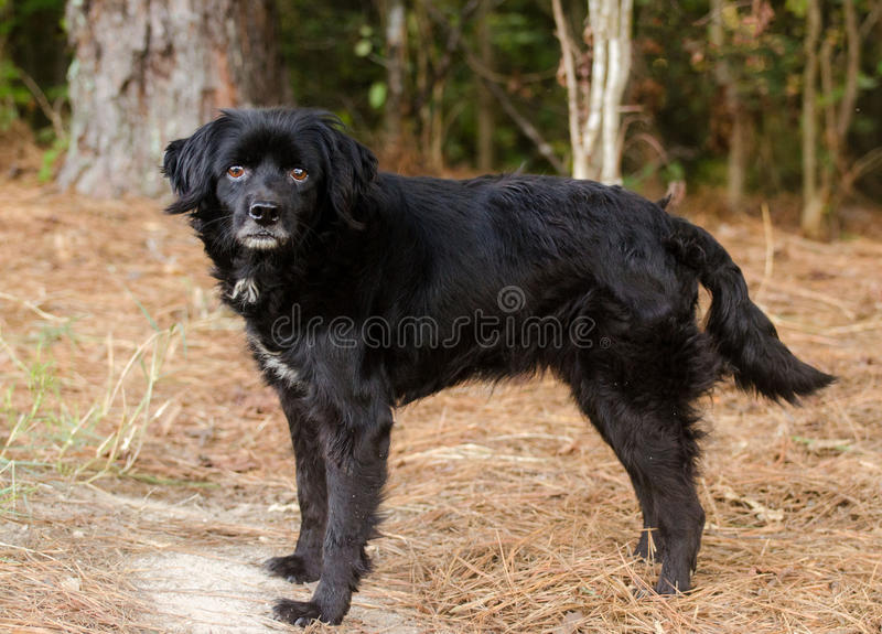 Black Retriever Cocker Spaniel mixed breed dog. Outdoor pet photography, humane society adoption photo, Walton County Animal Shelter, Georgia stock photography